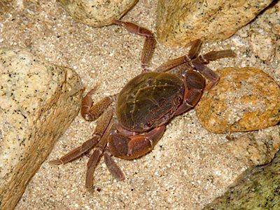 Tioman Freshwater Crab