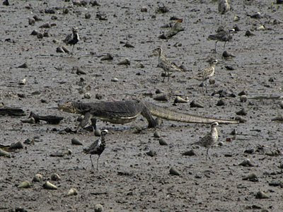 Malayan Water Monitor (Varanus salvator) and Pacific Golden Plovers (Pluvialis fulva)