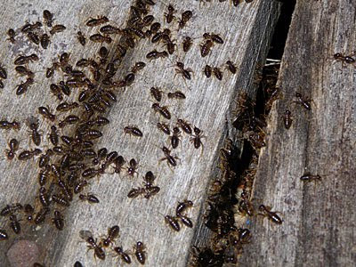 Termites (Order Isoptera)