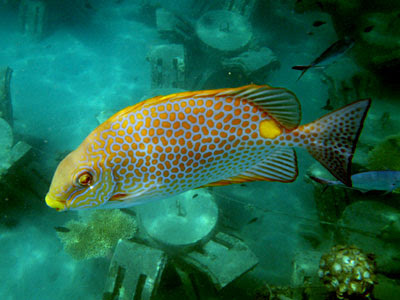 Goldspotted Rabbitfish (Siganus guttatus)