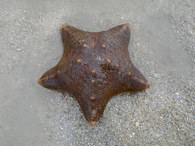 Sea Star, Starfish