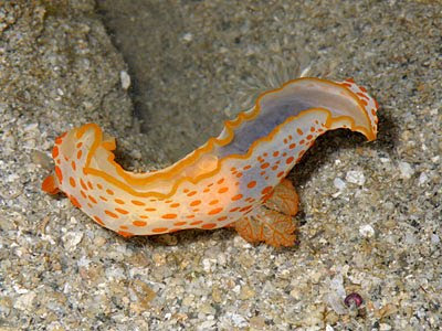 Gymnodoris rubropapulosa Nudibranch