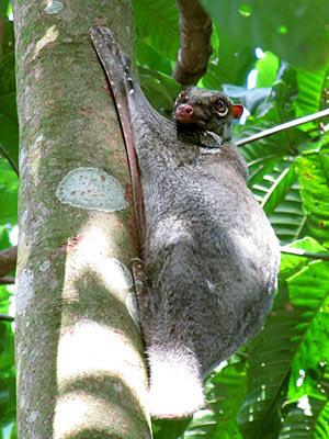 Malayan Colugo (Cynocephalus variegatus)