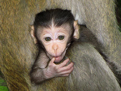 Baby Long-tailed Macaque (Macaca fascicularis)