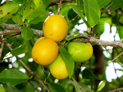 Sea Lime (Ximenia americana)