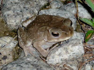 Asiatic Toad (Duttaphrynus melanostictus)