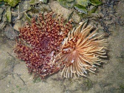 Fan Worms (Sabellastarte spp.)