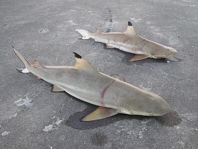Blacktip Reef Sharks (Carcharhinus melanopterus)