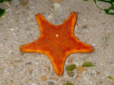 Cake Sea Star (Anthenea aspera