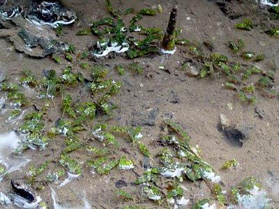 Beccari's Seagrass (Halophila beccarii)