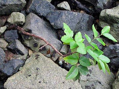 Xylocarpus rumphi