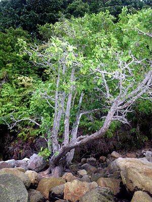 Xylocarpus rumphii