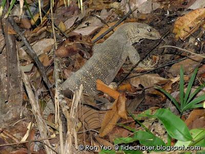 Clouded Monitor Lizard (Varanus bengalensis)