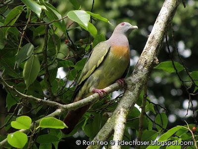 Pink-necked Green-pigeon (Treron vernans)