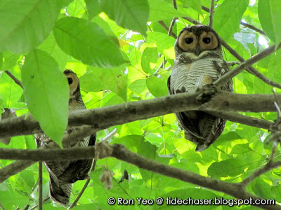 Spotted Wood-owls (Strix seloputo)