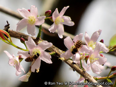 Pink Mempat (Cratoxylum formosum)