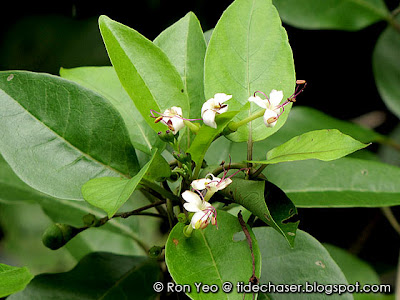 Wild Jasmine (Clerodendrum inerme)