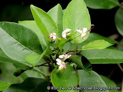 Wild Jasmine (Clerodendrum inerme)