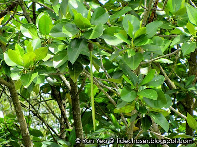 Bakau Kurap (Rhizophora mucronata)