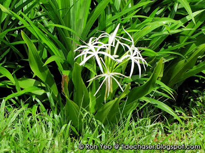 Crinum Lily (Crinum asiaticum)