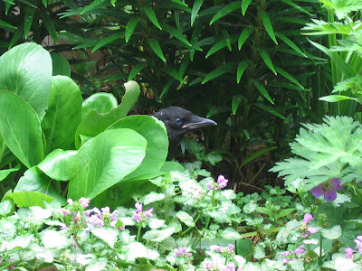 Fledgling crow hiding in the garden