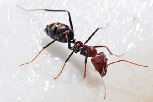 Homemade ant bait recipe