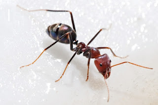 Ants can compile 3 times their weight