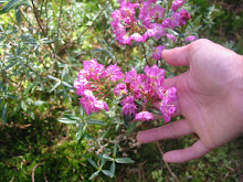 native:  Bog Laurel or Kalmia