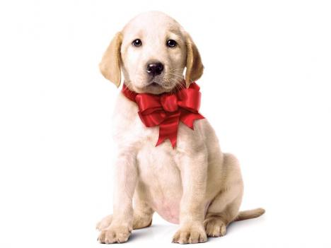 marley and me wallpaper. marley and me puppy. the
