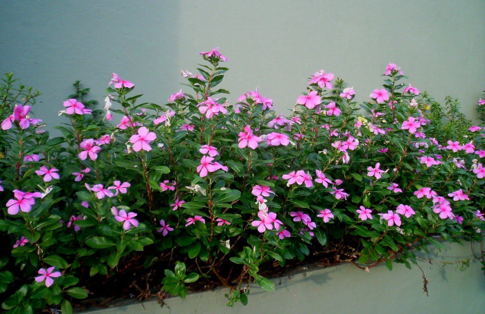 vinca plants 200 rooted vinca minor plants aka periwinkle due to it's blue color, great groundcover plant it grows well in shaded areas, looks beautiful planted around trees.