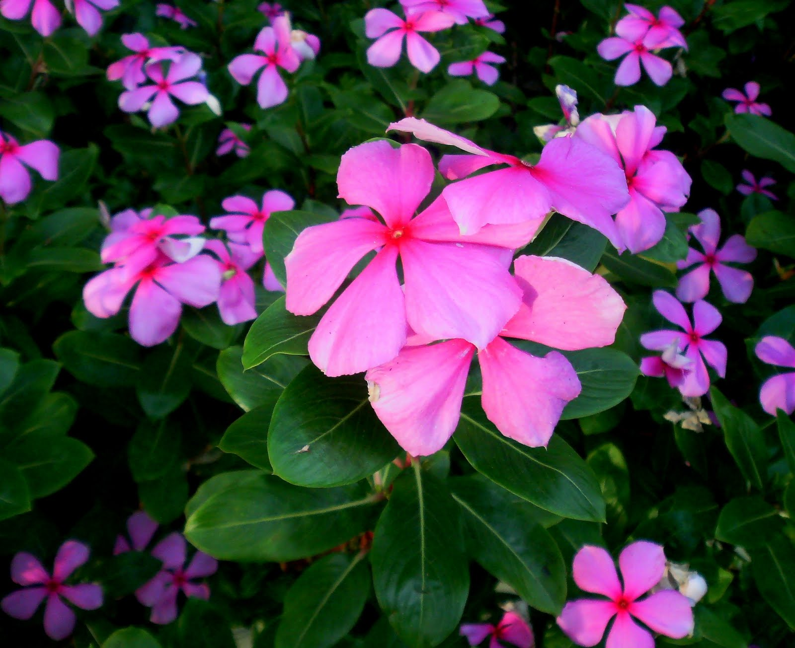 Laman Kambatik Plants list 3rd ed Vinca rosea Madagascar Periwinkle