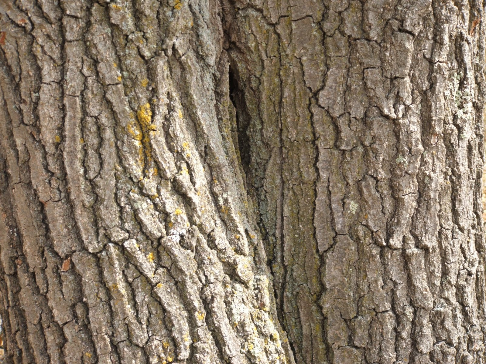 Oak trees, tree bark, bark, double tree, moss, horizontal