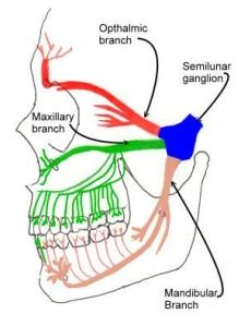 Trigeminal branches