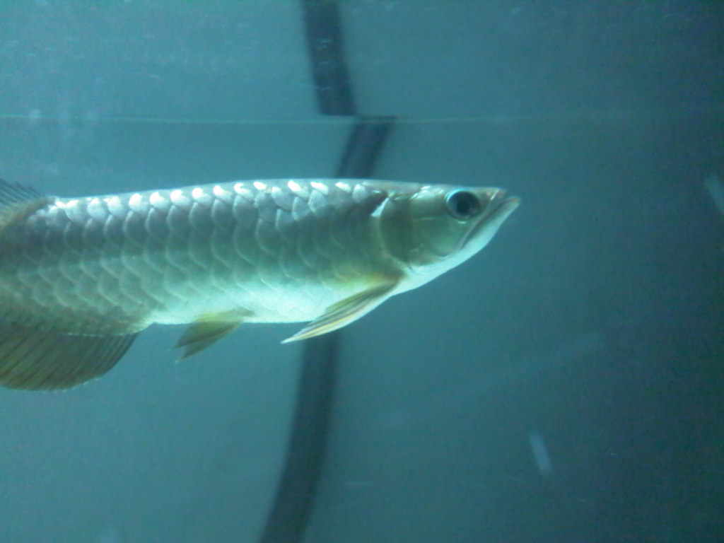 Arowana for sale lookup beforebuying for Arowana fish for sale online