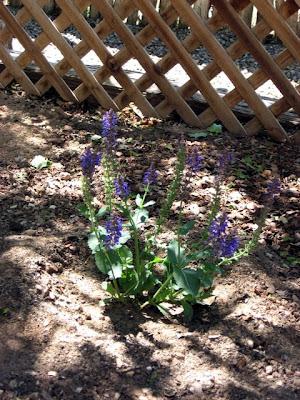 Salvia in Santa Fe