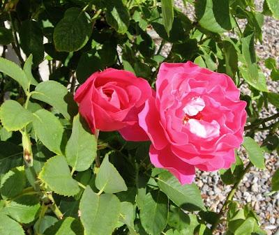 Santa Fe September Roses
