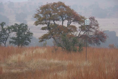Texas oak turning red near purple martin house on foggy day. ©2007 M Bamberger