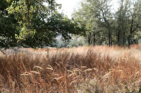 Grasses, including yellow indian-grass and little bluestem, with live oaks. ©2007 Margaret Bamberger