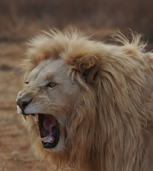 Image Gallery lion roaring side view