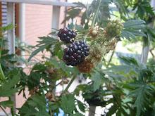 La mora.Questo intricante e impenetrabile arbusto!!!
