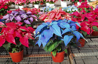 My Little Cottage In The Making The Many Colors Of Poinsettia Plants