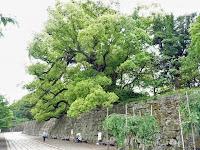 樹齢は約450年の樟樹
