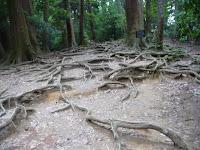 岩盤が固く地下に根を張れない木の根道