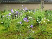 青紫や白色に凛と咲くキキョウの花が美しい