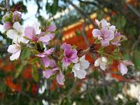 紫宸殿前の「左近の桜」
