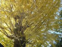 樹齢何百年のイチョウの木だろう?