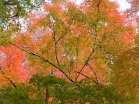 御土居の紅葉