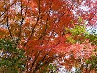 三叉の紅葉の大木は樹齢400年