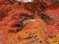 岩倉実相院は紅葉が有名である