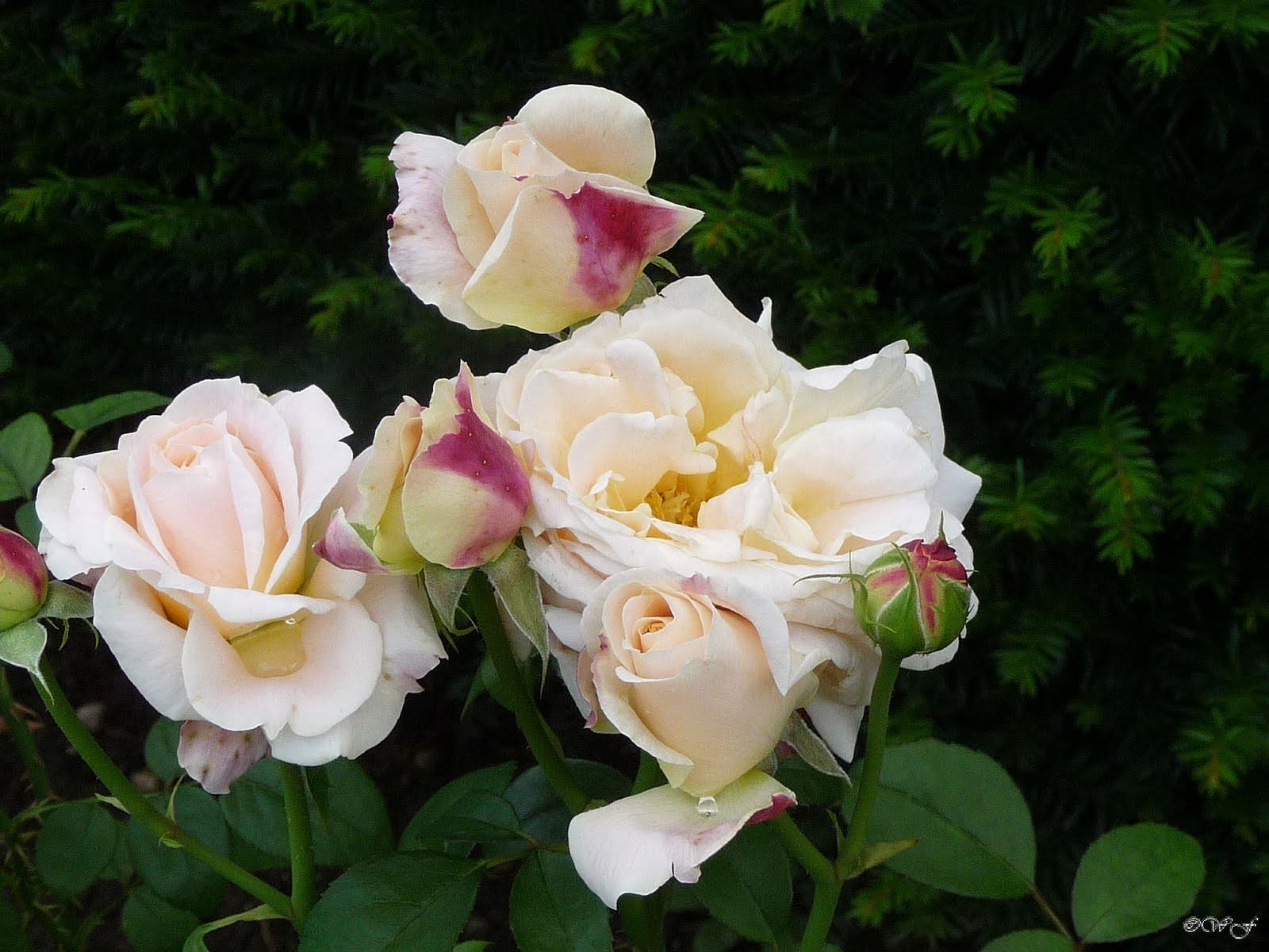 rosentraeume rosen im september. Black Bedroom Furniture Sets. Home Design Ideas
